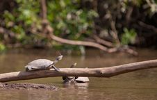 Free Basking River Turtle With Butterfly Royalty Free Stock Images - 20167339