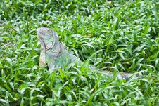 Free Green Iguana Royalty Free Stock Photo - 20169495