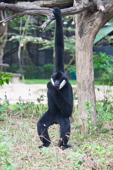 Free White Cheek Gibbon. Stock Photography - 20169592