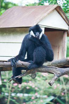 Free White Cheek Gibbon. Royalty Free Stock Photography - 20169597