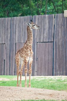 Free Young Giraffe Stock Photos - 20169673