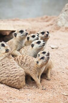 Free Meerkat Royalty Free Stock Photos - 20169688