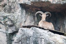 Free Brown Mountain Goat Stock Photography - 20169732