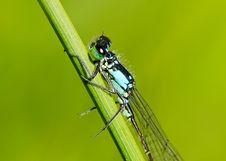 Free Damselfly Royalty Free Stock Images - 20169929