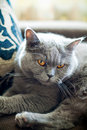 Free British Cat Royalty Free Stock Photography - 20173817
