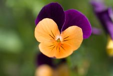 Free Pansy Stock Images - 20170064