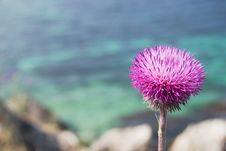 Blooming Thistle Stock Image