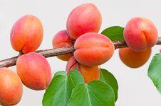 Free Apricots Royalty Free Stock Photos - 20170508