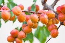 Free Apricots Stock Photos - 20170523