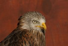 Free Head Study Of A Red Kite Royalty Free Stock Photography - 20170797