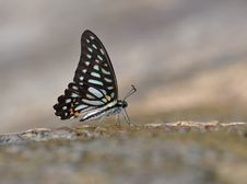 Free Butterfly ( Graphium Leechi) Stock Images - 20170974