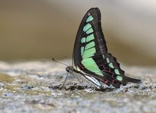 Free Butterfly (Graphium Cloanthus) Royalty Free Stock Photo - 20171005