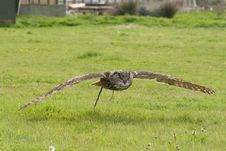 Eagle Eyed Owl In Flight Stock Photography