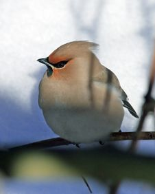 Free Waxwing Portrait For The Cover Stock Photo - 20172290