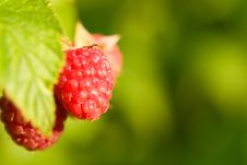 Raspberries Bush Stock Photo