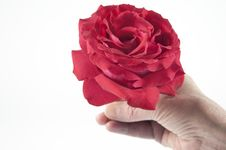 Free Giving A Red Rose Royalty Free Stock Image - 20173996