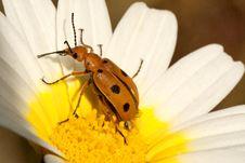 Free Beetle Bug (Leptopalpus Rostratus) Royalty Free Stock Image - 20174926