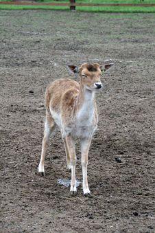Free Fallow Deer Royalty Free Stock Images - 20175359