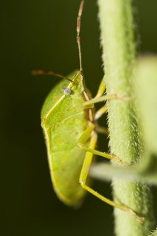 Southern Green Stinkbug (Nezara Viridula) Stock Photography
