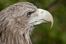 Free White-tailed Eagle Stock Photography - 20175892
