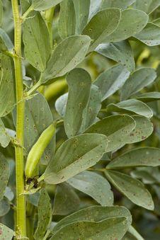 Free Fava Bean Plant Royalty Free Stock Photos - 20176138