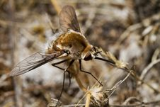 Free Bombyliidae Major Bee Fly Stock Image - 20177821