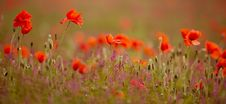 Free Poppy Field Stock Photos - 20179303