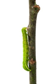 Free Caterpillar On A Twig Royalty Free Stock Images - 20179959