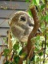 Free Koala Bear Royalty Free Stock Photos - 20186008