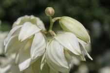 Free Yucca Flacida Flower Stock Images - 20180584