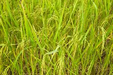 Free Growing Of Rice In The Farmland Stock Photography - 20180842