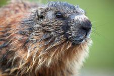 Free Marmot Stock Image - 20180881