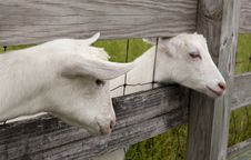 Free Goat Heads Stock Photography - 20181662