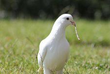 Free White Pigeon Royalty Free Stock Photo - 20181715