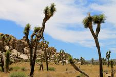 Free Joshua Trees Stock Photography - 20182052