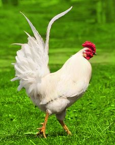 Free White Rooster On The Green Grass Stock Images - 20182184