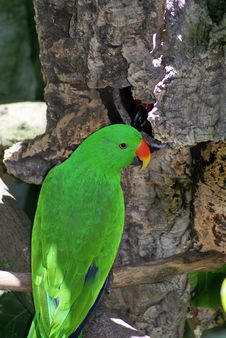 Free Eclectus Parrot Stock Images - 20182674