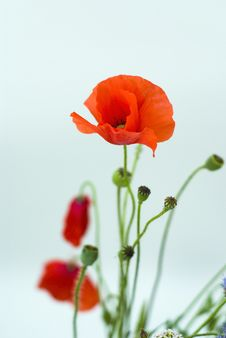 Free Red Poppies On A White Background Royalty Free Stock Photo - 20183425