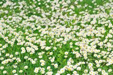 Free Field Of White Daisies Stock Photo - 20183450