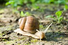 Free Snail Royalty Free Stock Images - 20185409