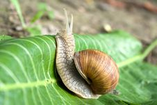 Free Snail Royalty Free Stock Photo - 20185425