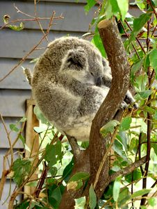 Free Koala Bear Royalty Free Stock Photos - 20186008