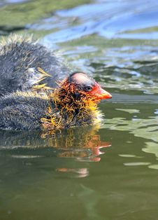 Free Mud Hen Coots Royalty Free Stock Images - 20186339