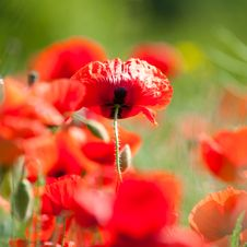 Free Red Poppies Royalty Free Stock Images - 20188079