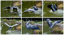 The Grey Heron Successfully Cought A Fish Royalty Free Stock Photography