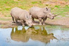 Free Two Rhinozeros Drinking At Lake Royalty Free Stock Photography - 20189207