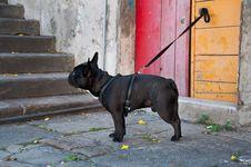 Free French Bulldog Stock Image - 20189211