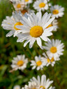 Free Background Of Daisies Royalty Free Stock Images - 20190969