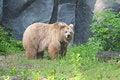 Free Brown Bear Royalty Free Stock Image - 20195006