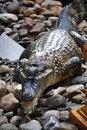 Free Crocodile On Stone Royalty Free Stock Photo - 20195085